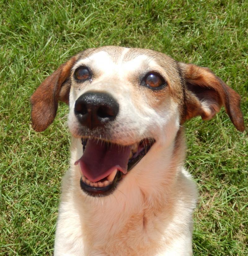 Meet Missy A Petfinder Adoptable Beagle Dog Tylertown Ms Hi