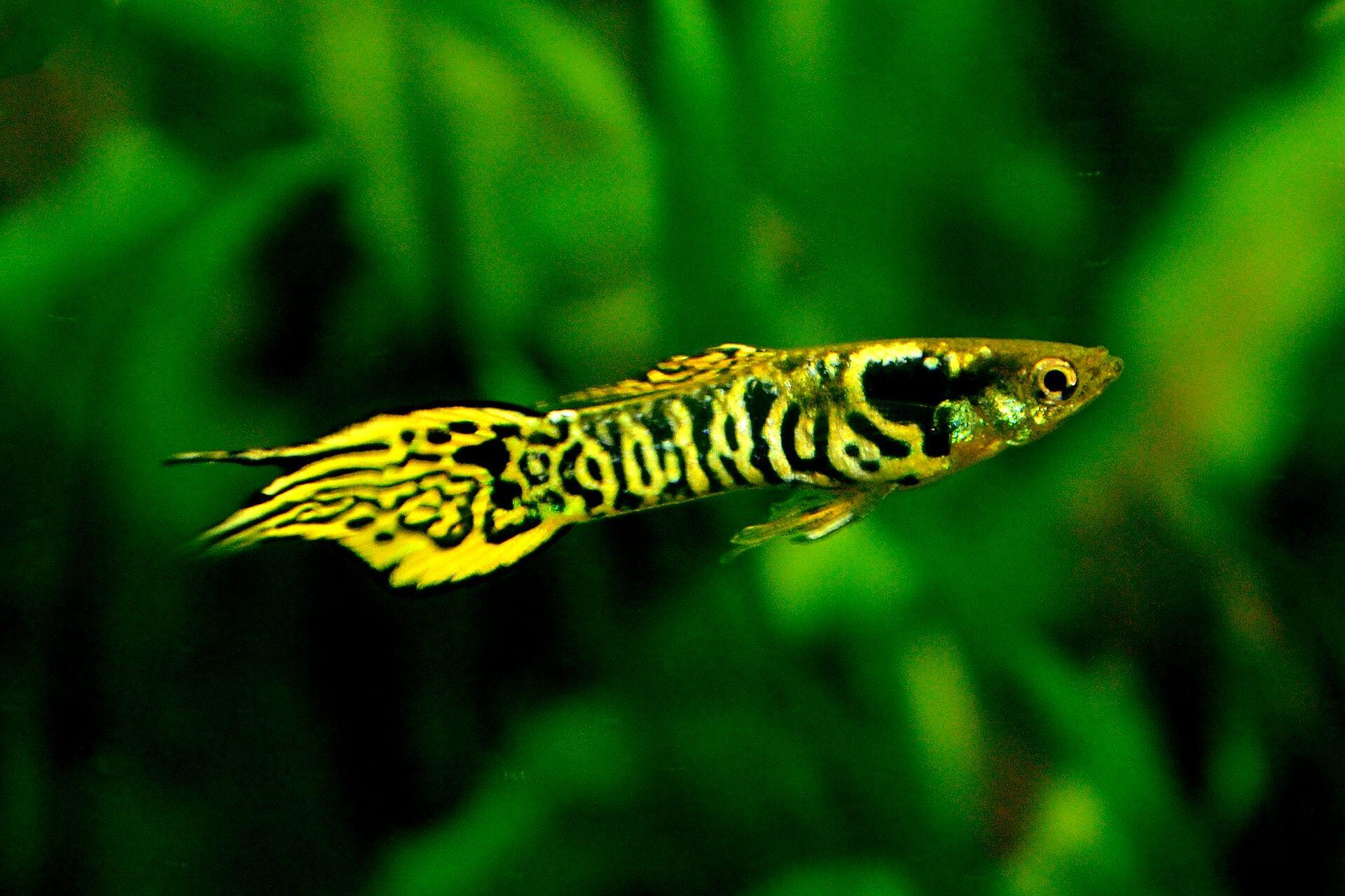 Yellow Tiger Endler Guppy Fish Tropical Fish Aquarium Freshwater Aquarium Fish