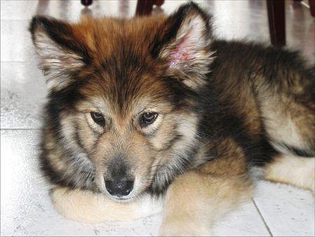 American Indian Dog Breeders Uk