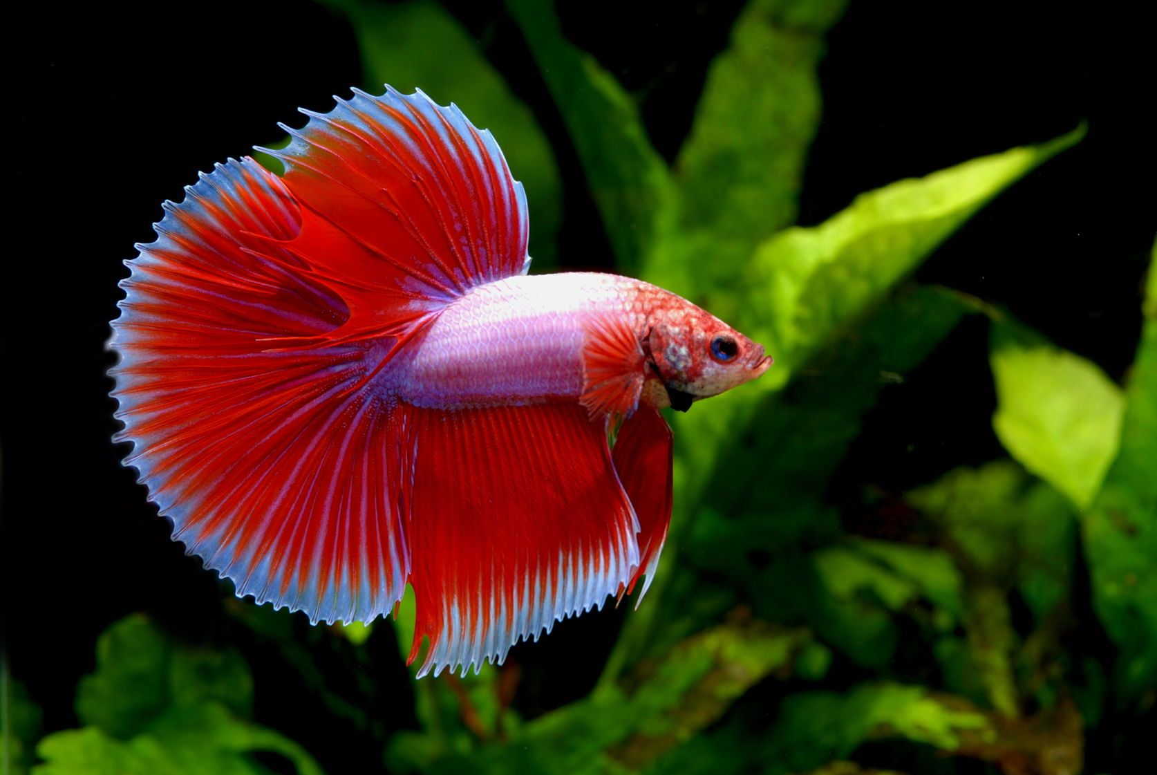 Betta Fish: Everything You Need to Know About the Species http://www ...