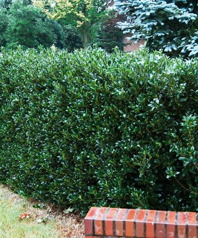 ilex meserveae 39 heckenstar 39 shrubs pinterest shrub. Black Bedroom Furniture Sets. Home Design Ideas