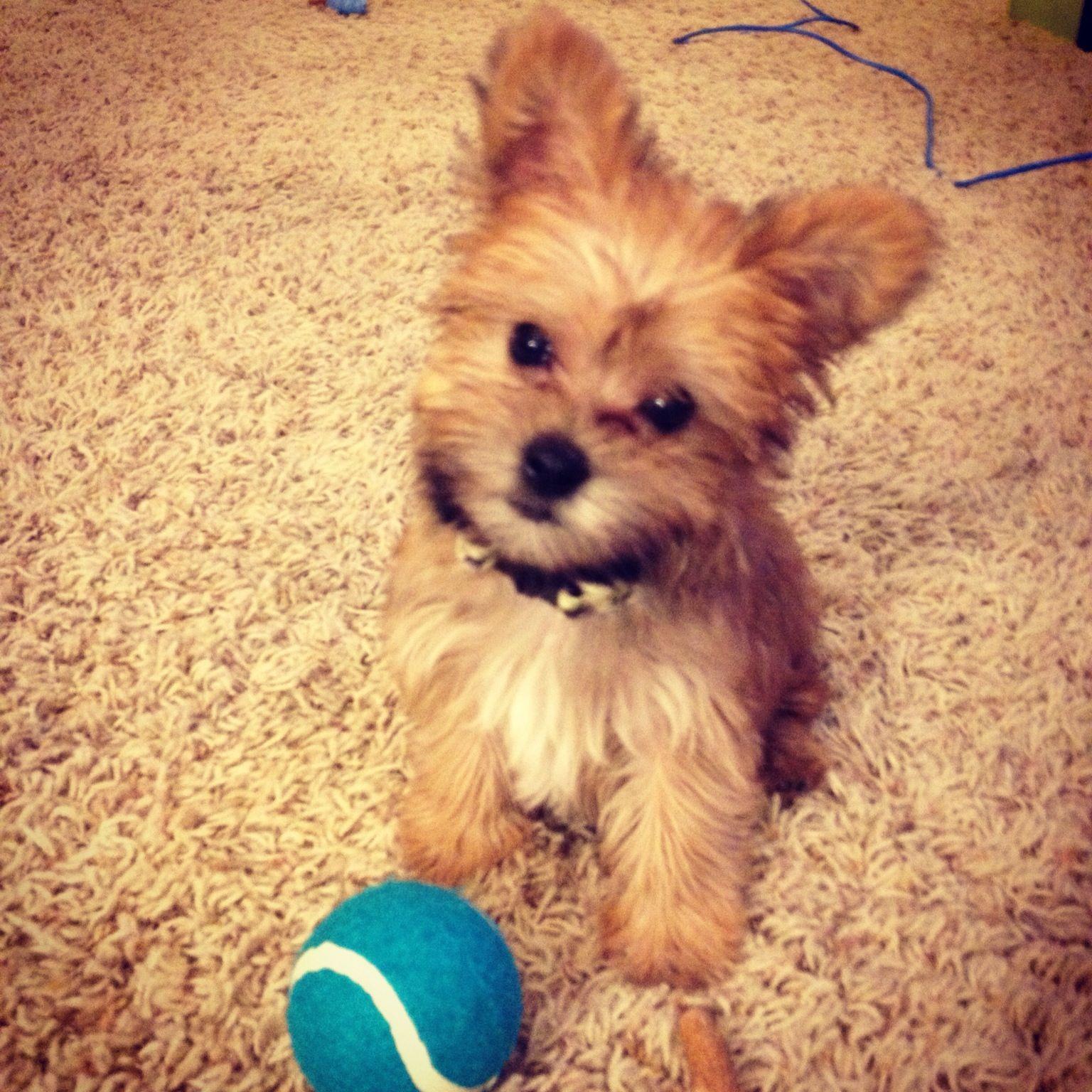 Morkie Puppy. So Freaking Cute!!!
