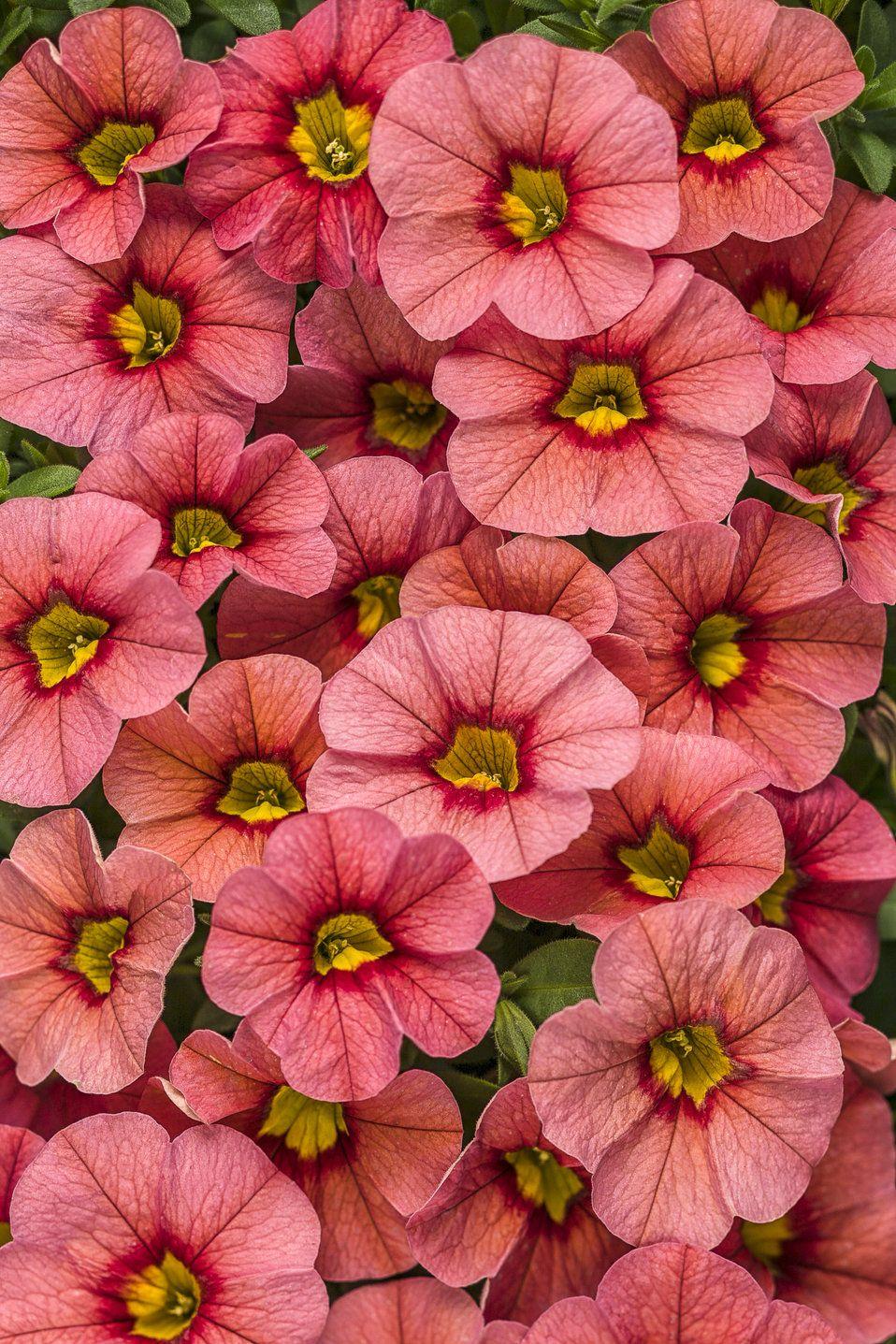 Superbells® Coralina Calibrachoa hybrid (With images