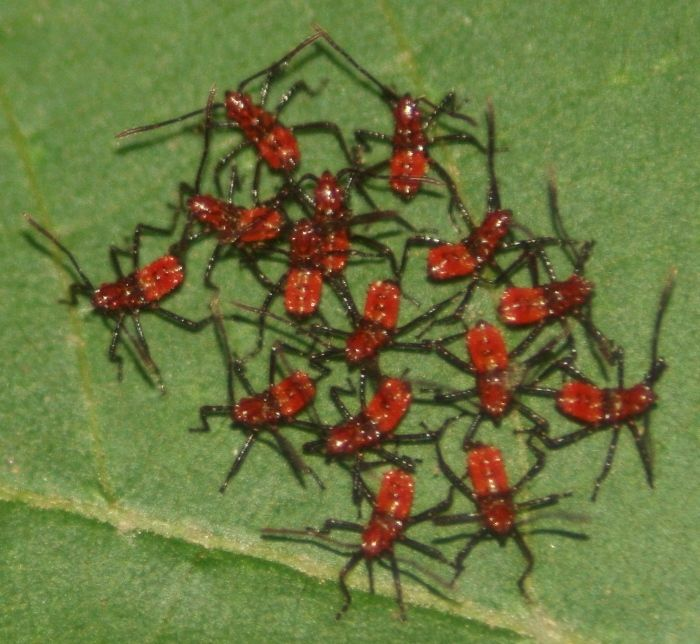 Leaf Footed Bug Nymphs