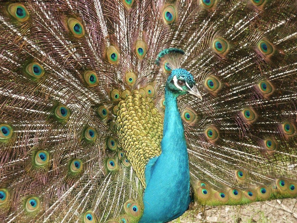 3d Peacock Hd Wallpaper Birds Wallpaper Hd Peacock Images Bird Wallpaper