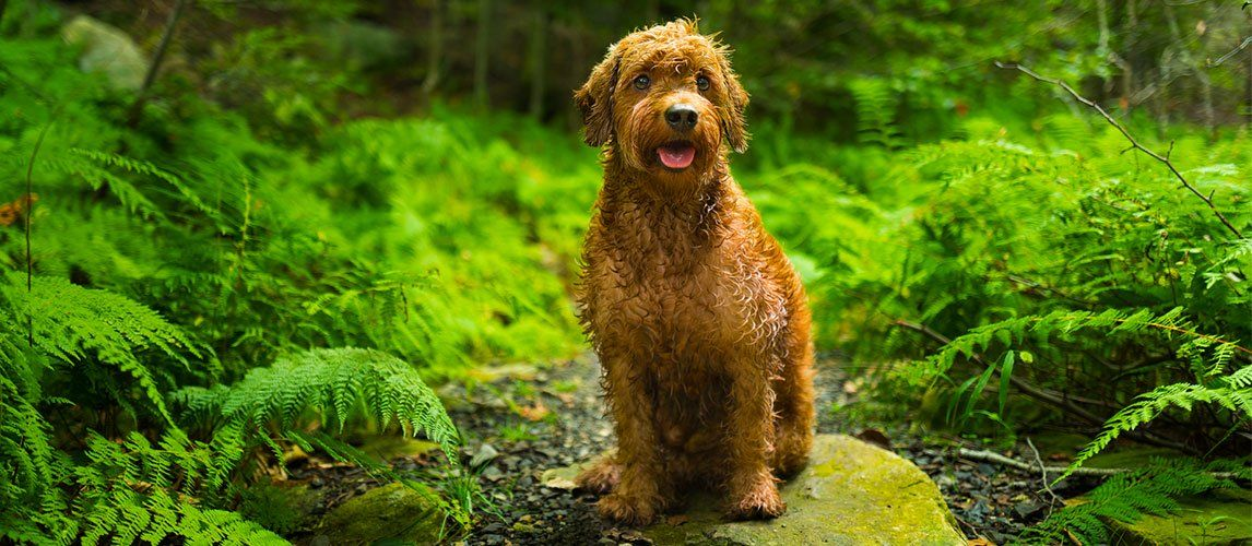 Goldendoodles are prone to allergies which is why we