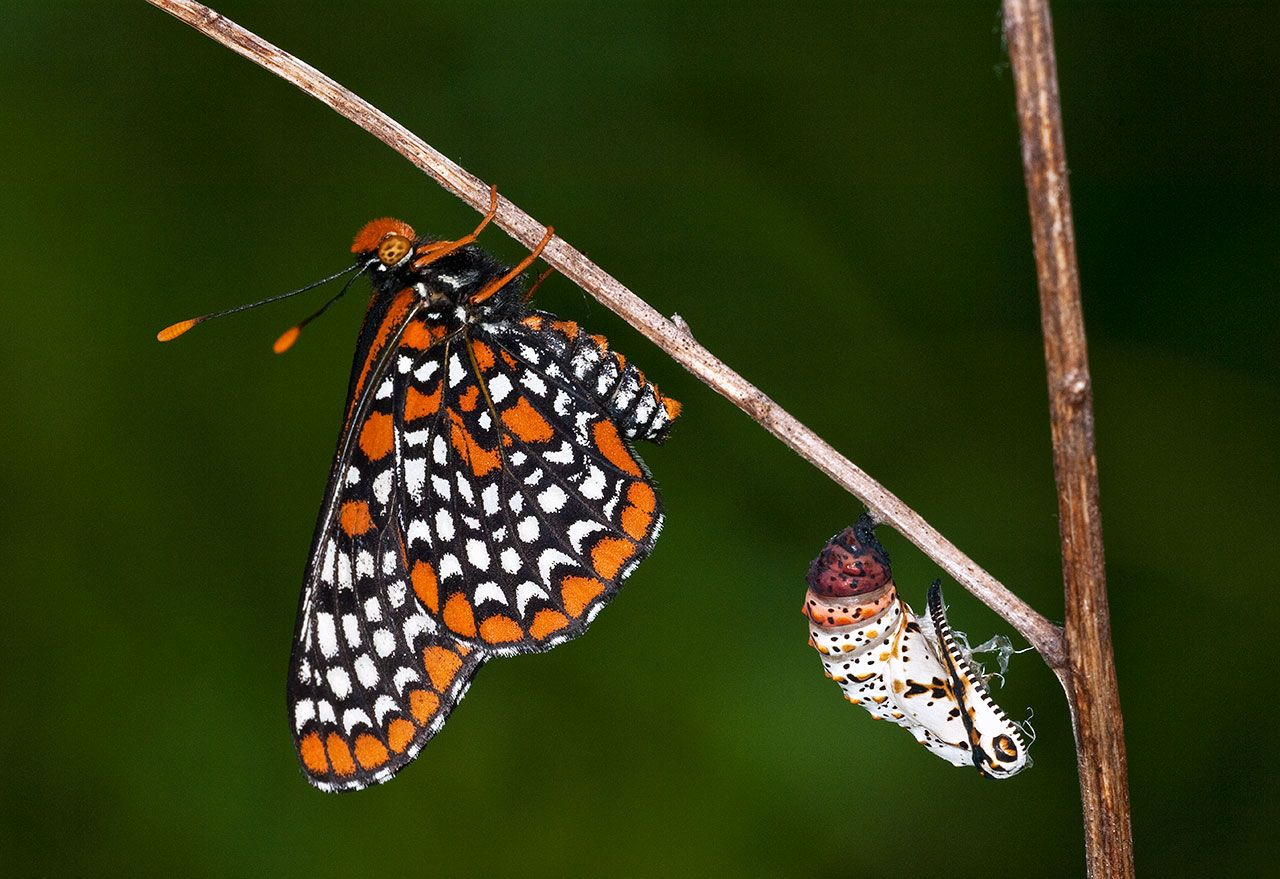 Checkerspot Butterfly and Chrysalis