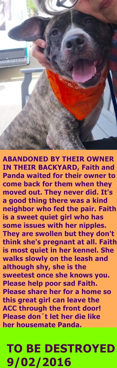 MURDERED 9/02/2016 --- Manhattan Center FAITH – A1085574  FEMALE, BR BRINDLE / WHITE, AM PIT BULL TER / AMERICAN STAFF, 3 yrs STRAY – STRAY WAIT, HOLD FOR ID Reason ABANDON Intake condition UNSPECIFIE Intake Date 08/16/2016,  http://nycdogs.urgentpodr.org/faith-a1085574/