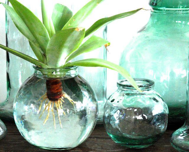 Agave Water Vase Vase Glass Vase Agaves