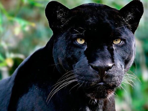 Pantera Negra: Pantera Negra