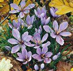Crocus Sativus   Crocus, Fall-Flowering   Crocus   Fall Catalog   McClure & Zimmerman purchased 8-5-13