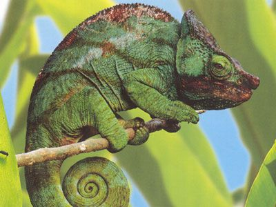 camaleão escondido na folhagem
