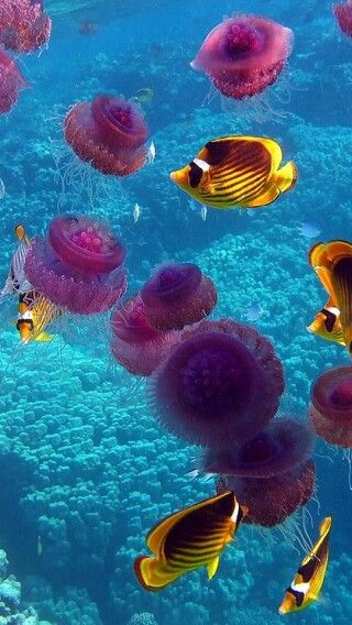Purple Jellyfish among the yellow and brown angel fish, in the clear blue waters. - http://www.pinterest.com/DianaDeeOsborne/underwater-glory