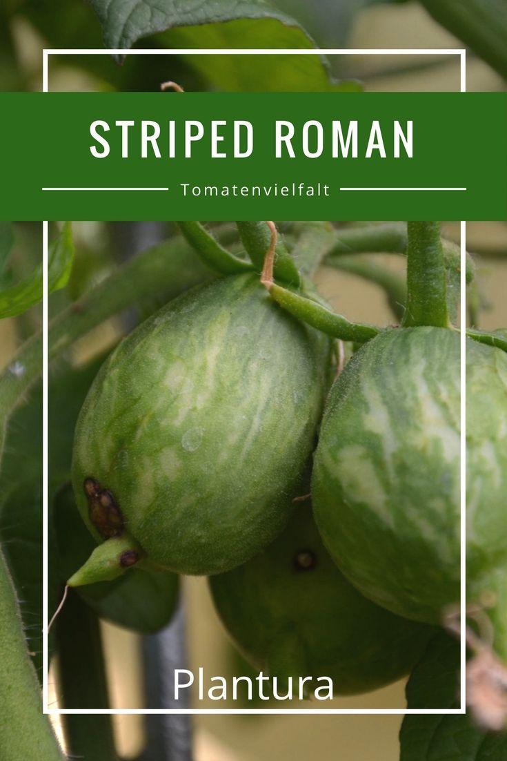 Striped Roman | Färben, Tomaten und Streifen
