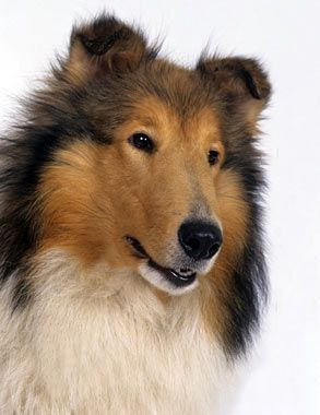 Everything You Want To Know About Collies Including Grooming