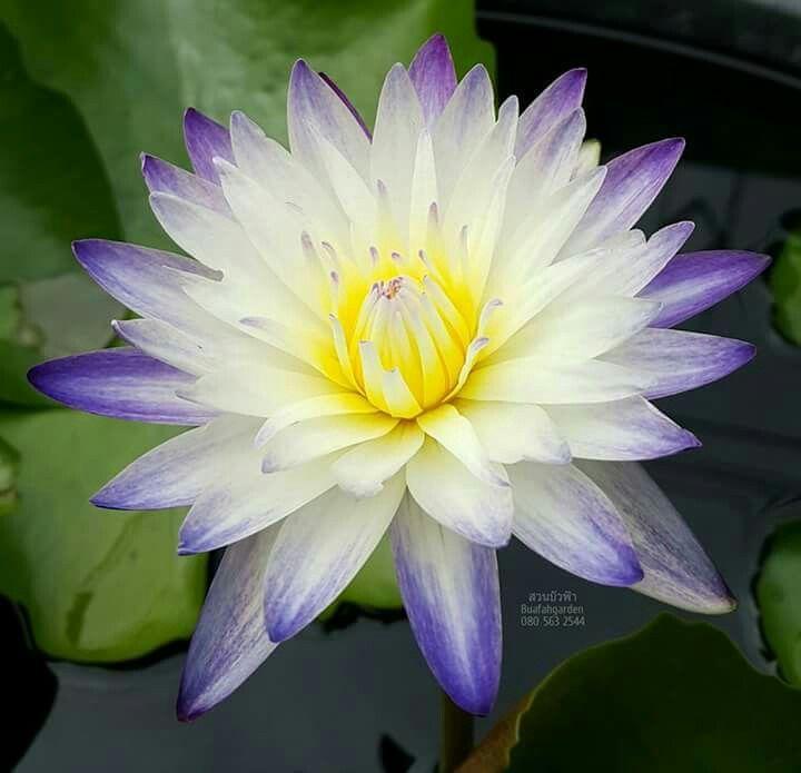 Pin by sdka altunda on nilfer pinterest water lilies and gardens water gardens lotus lotus flower water features lotus flowers mightylinksfo