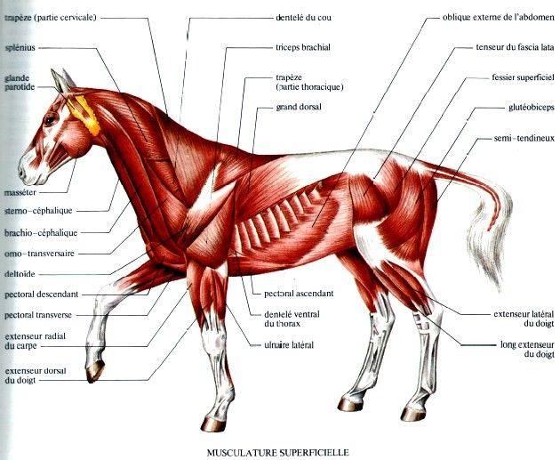 L\'anatomie du cheval dans son ensemble - Hippologie.fr | Passion ...