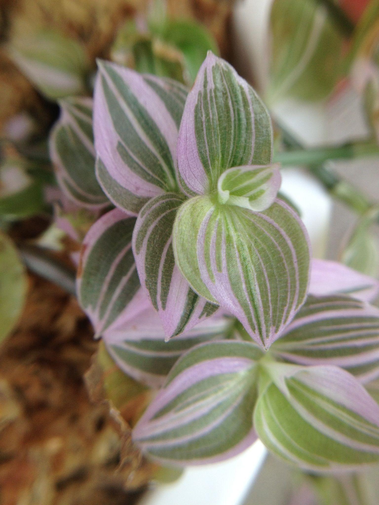 Tradescantia Fluminensis Lavender