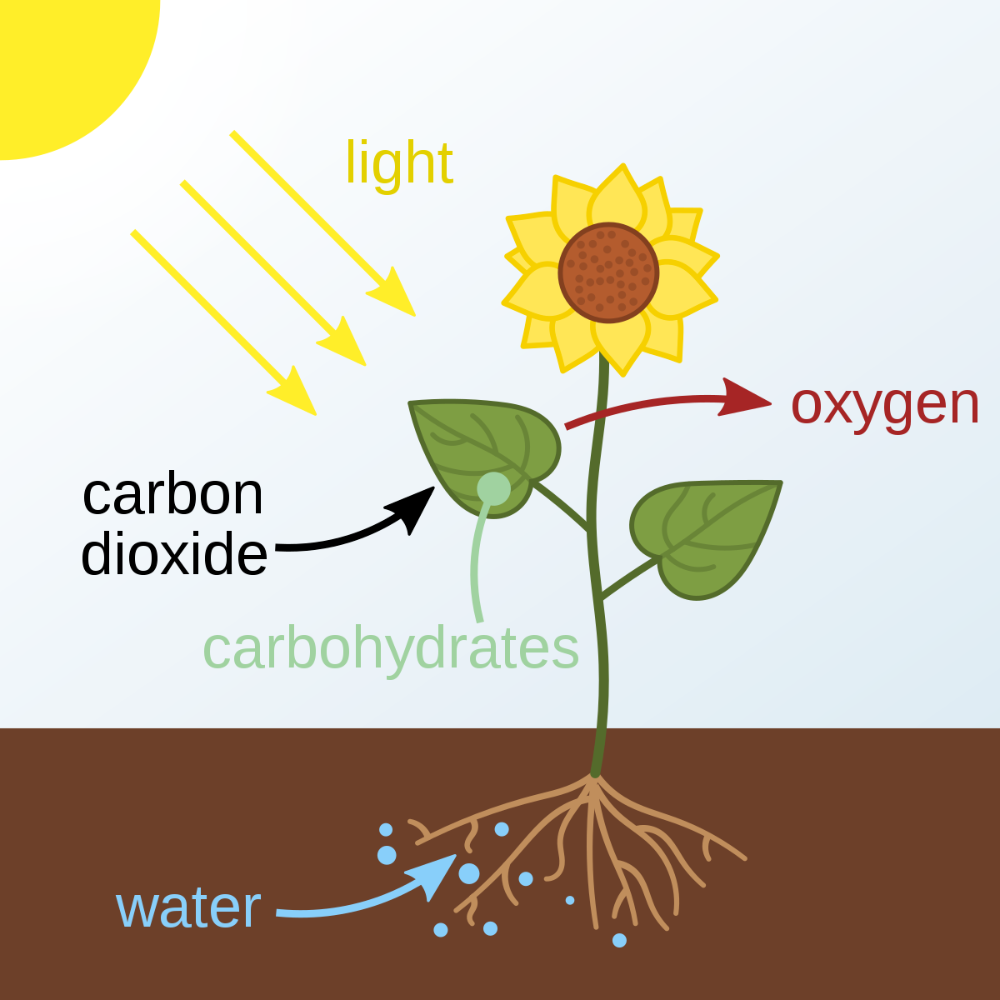 Photosynthesis Is A Process Used By Plants And Other Organisms To Convert Light In 2020 Photosynthesis Photosynthesis And Cellular Respiration Photosynthesis Projects