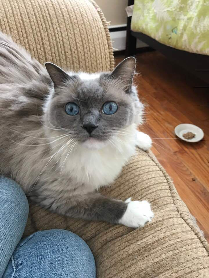 Adopt Ragdoll on (With images) Ragdoll, Birman cat, Cats