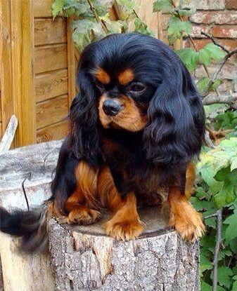 Amazing King Charles Brown Adorable Dog - f4ebdc3242e76e76233de9db909f598e  Snapshot_765986  .jpg
