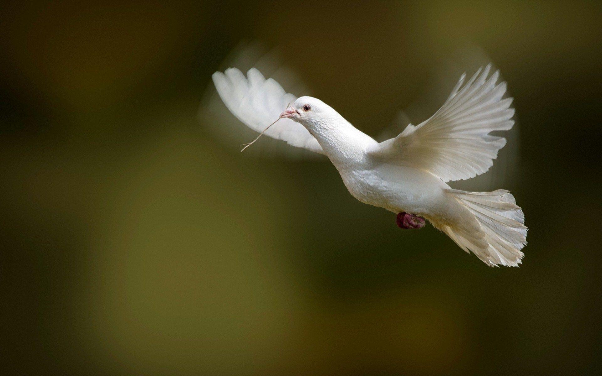 White Dove Bird Flying Photo Wallpaper 1920x1200 Oiseau En Vol Colombe Blanche Papier Peint Oiseaux