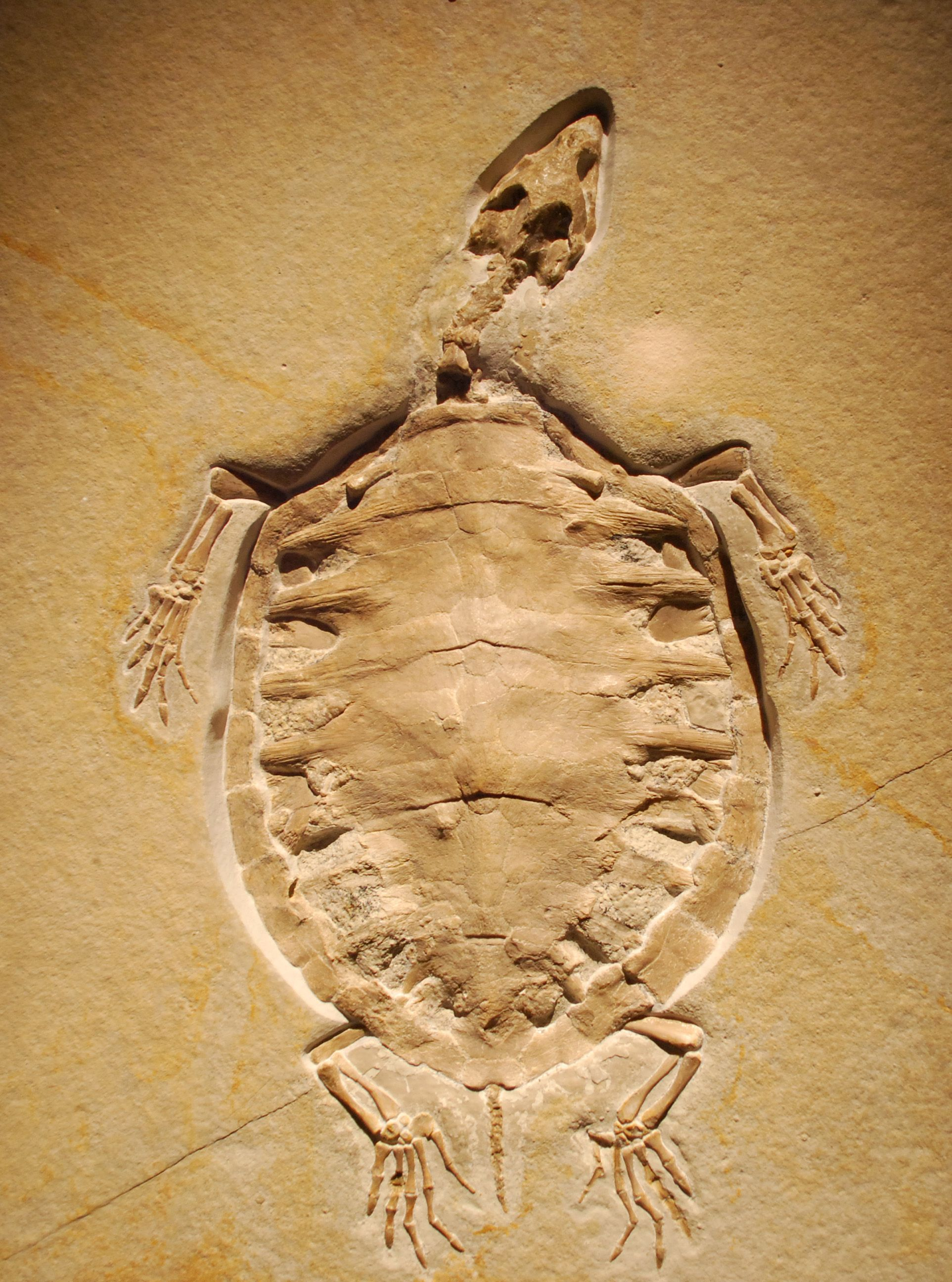 Turtle fossil ~K~ Still a TURTLE ! Not a part turtle/part bird, or part lizard, or part frog !