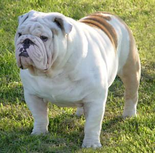 Old English Bulldog Breed Standards For The Olde English