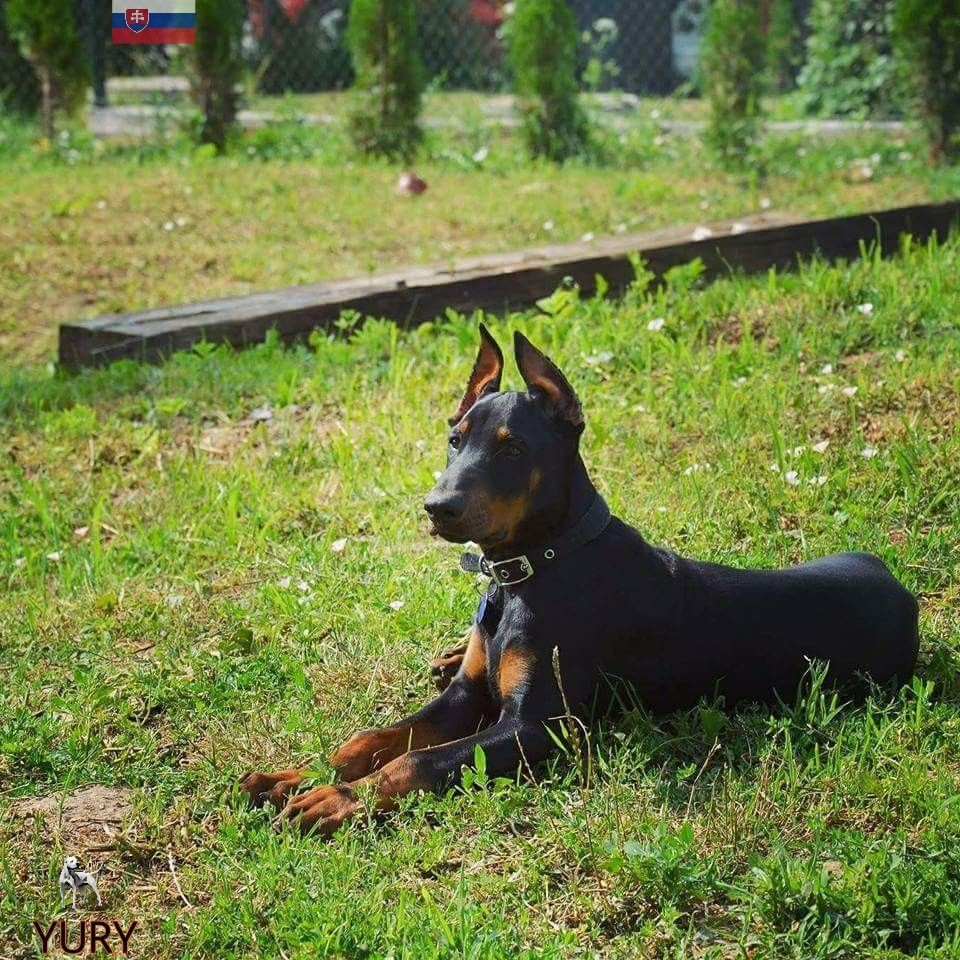 Yury 4 Months From Slovakia Doberman Pinscher Doberman Dogs