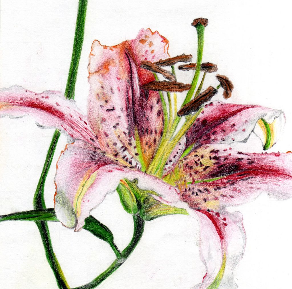 Drawing of a lily I did using coloured pencils Lilies