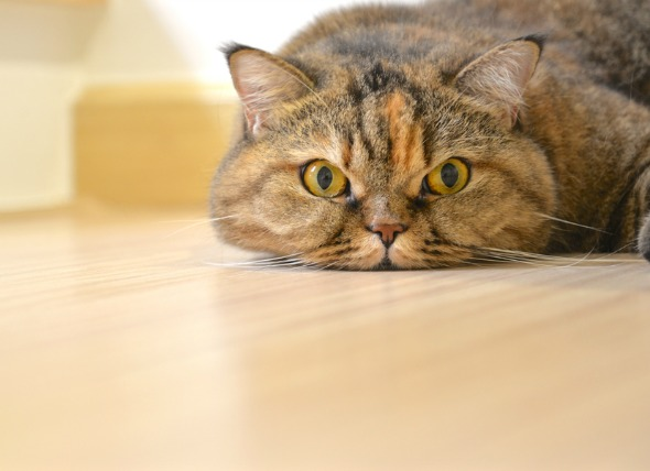 4 Common Home Remedies for Your Cat petMD
