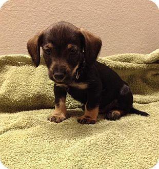 Slidell La Dachshund Mix Meet Prince A Puppy For Adoption