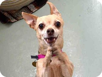 Pin By Sonia Heinz On Adoptable Animals Dogs Chihuahua Mix Pets