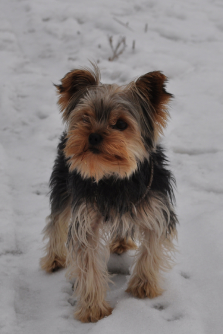 Yorkshire Terrier Dog Standing On The White Snow Brown Black Grey Dog Yorkshireterrier Yorkshire Terrier Puppies Yorkshire Terrier Yorkshire Terrier Dog