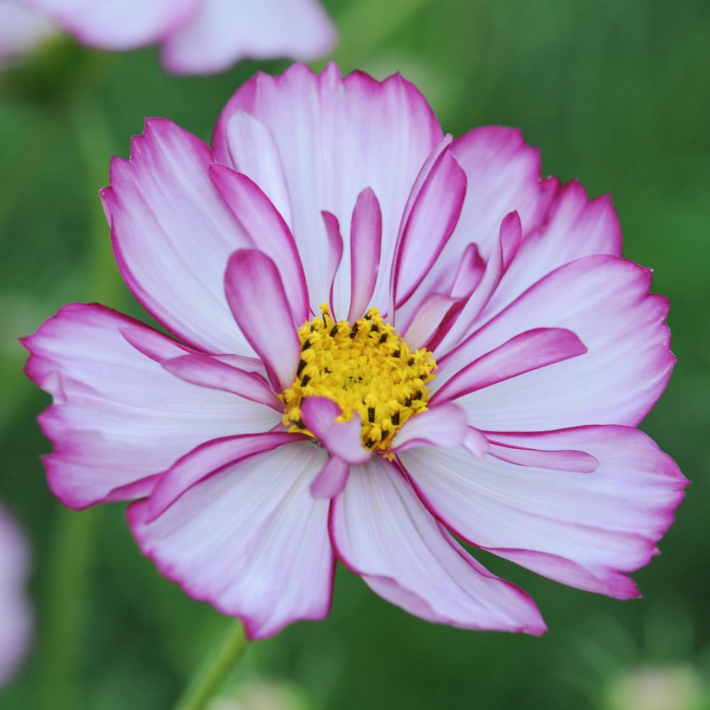 Cosmos Bipinnatus Sweet Sixteen Half Hardy Annual Seeds Thompson Morgan Cosmos Flowers Annual Flowers Flower Seeds