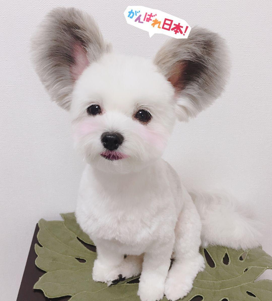トリミング行ってきました 今回は最短6mmカット 浴衣を着せてもらいました 似合ってるかな トリミング マイクロバブル ハーブパック マルパピ まるぱぴ マルチーズ パピヨン 犬 イヌ わんこ かわいい ふわもこ 子犬 仔犬 小型犬 ミックス犬 Mix Mix ゴマ Goma ゴマち