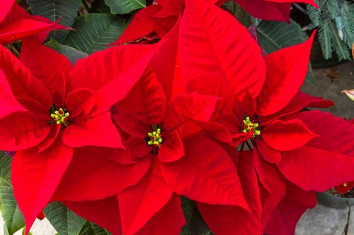5 Christmas Flowers Poinsettias And Beyond Builddirect Poinsettia Plant Traditional Christmas Decorations Flowers