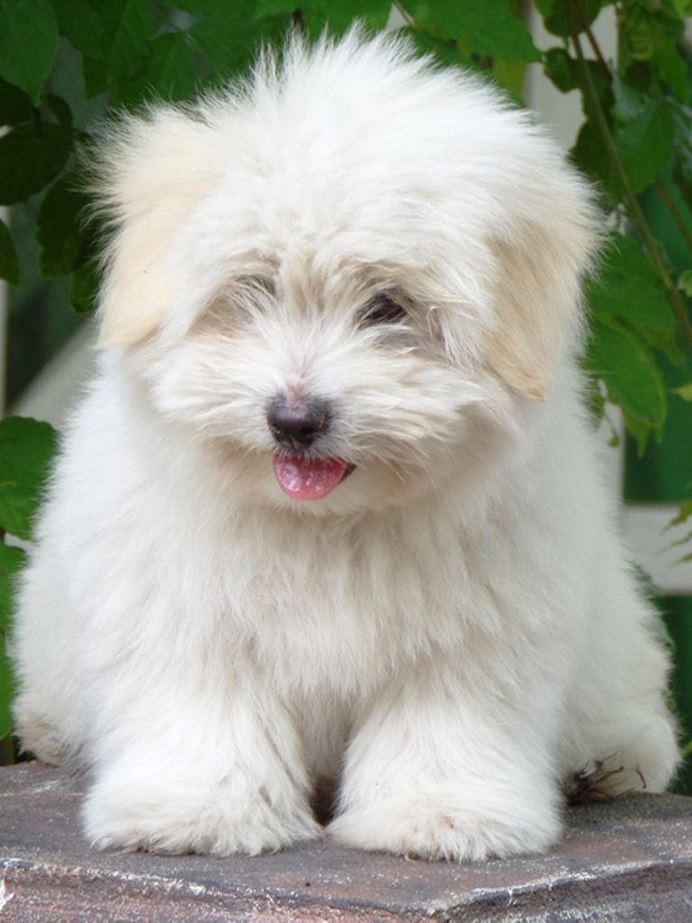 Coton De Tulear Puppies Breed Information Puppies For Sale Coton De Tulear Puppy Coton De Tulear Dogs Coton De Tulear
