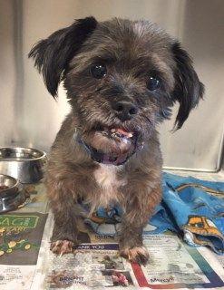 Meet Skyler 107030 A Petfinder Adoptable Shih Tzu Dog Joplin Mo