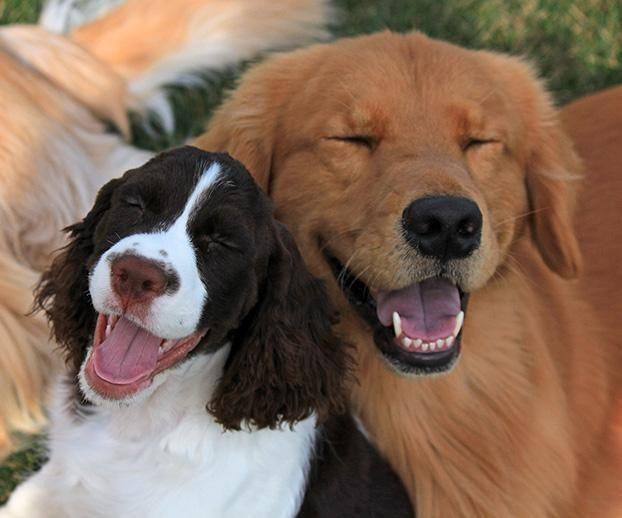 Julie And Flynn An English Springer Spaniel And Golden Retriever From Zeeland Mi Dog Photo Contest Best Dog Photos Dogs