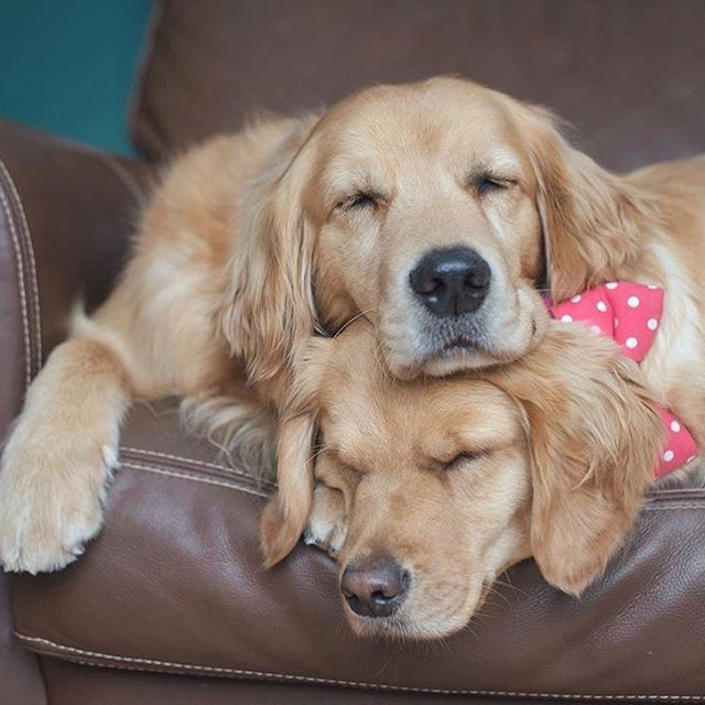 We Know We Know There S An Exciting Game On Pets Golden Dog