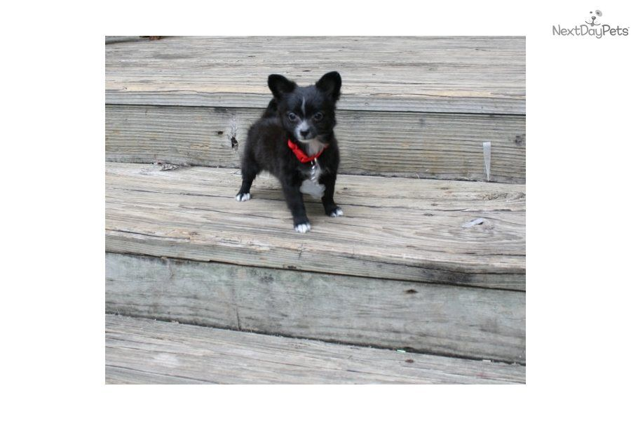 Chihuahua puppy chihuahua puppies chihuahua puppies for