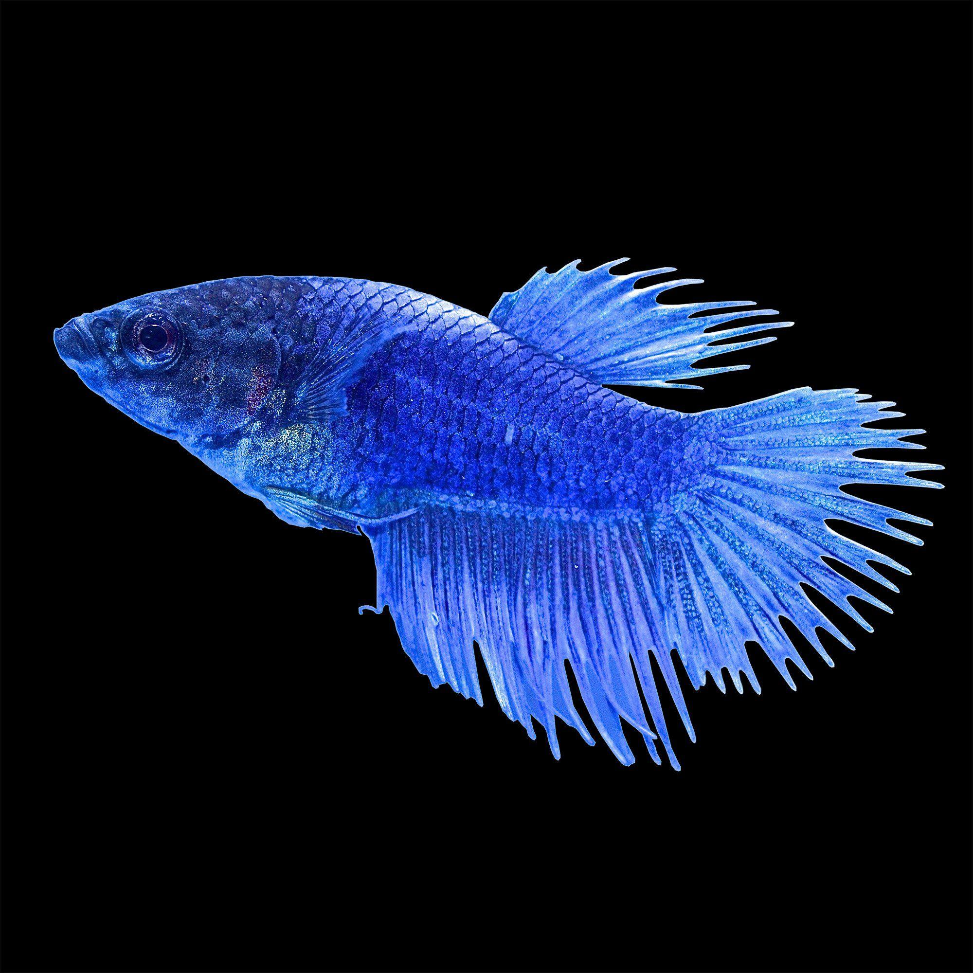 Blue Female Crowntail Betta Fish For Sale Order Online Petco Betta Fish Betta Siamese Fighting Fish