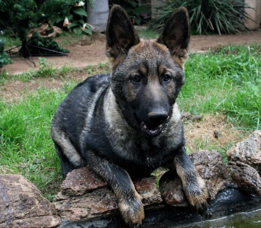 Black Sable German Shepherd Puppies For Sale Black Sable German