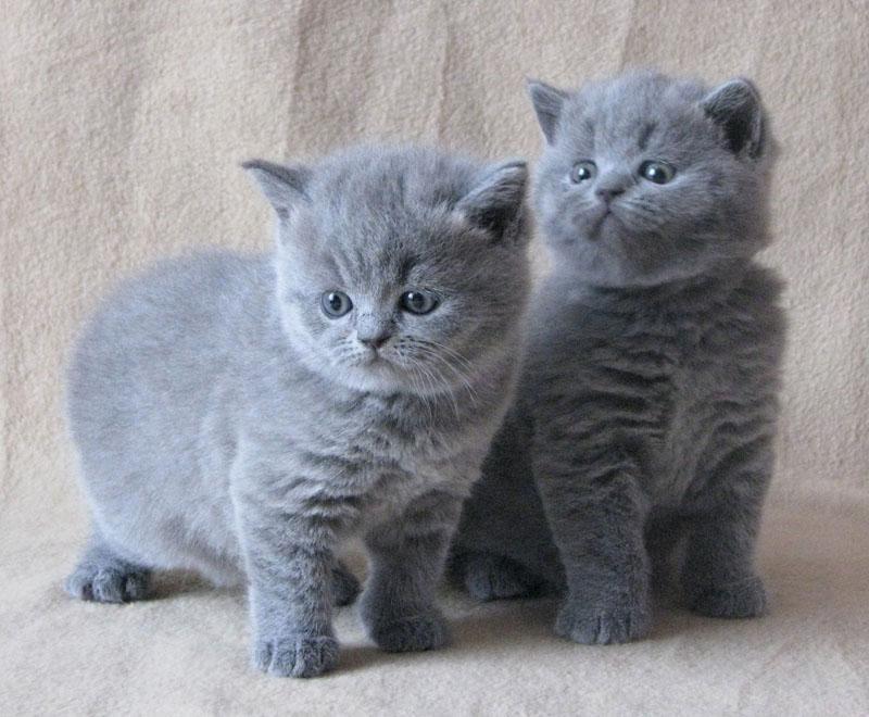 British Shorthair Kittens 11 Pictures 4 British Shorthair