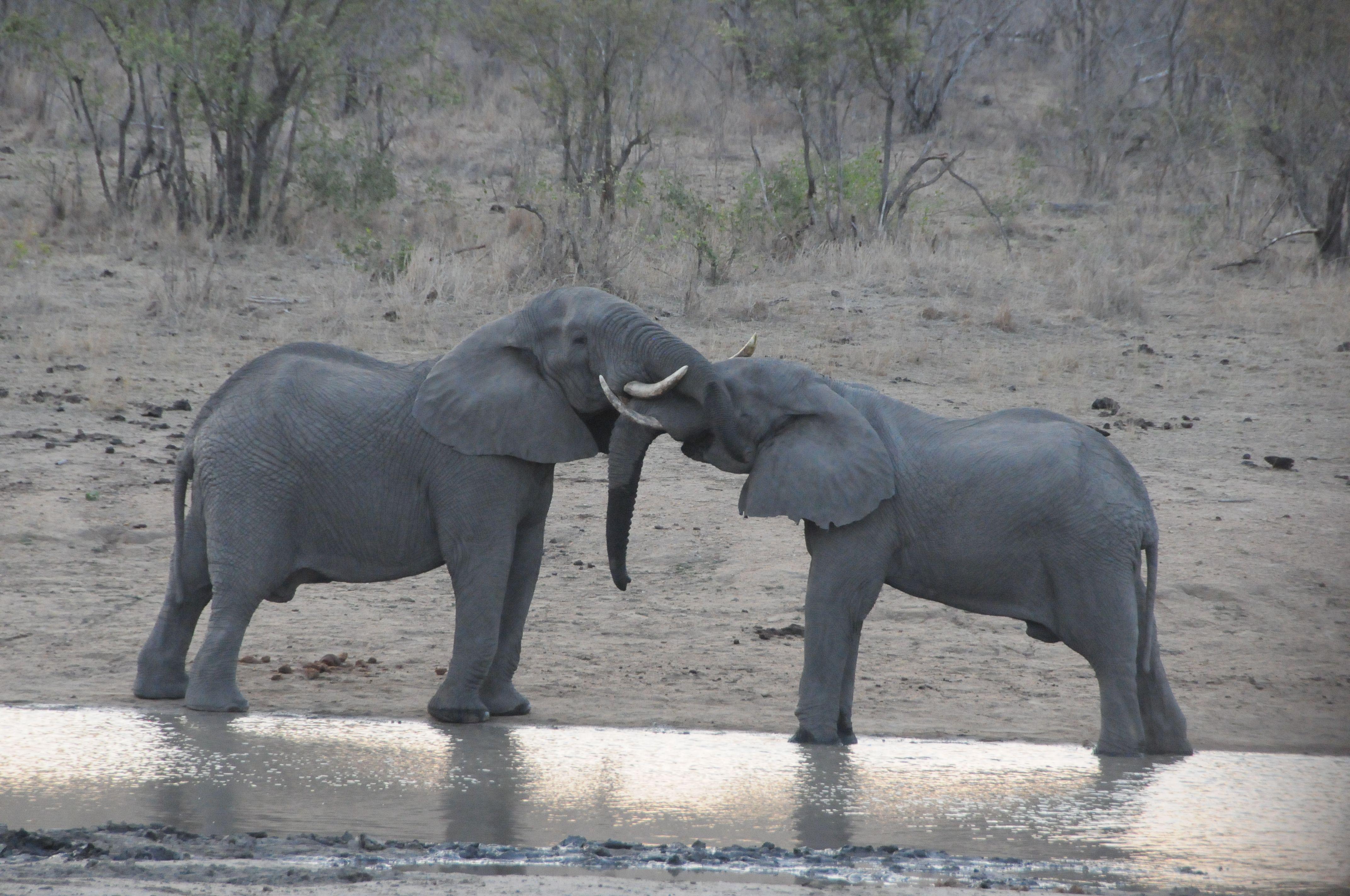 Eléphants - Safari Afrique du Sud
