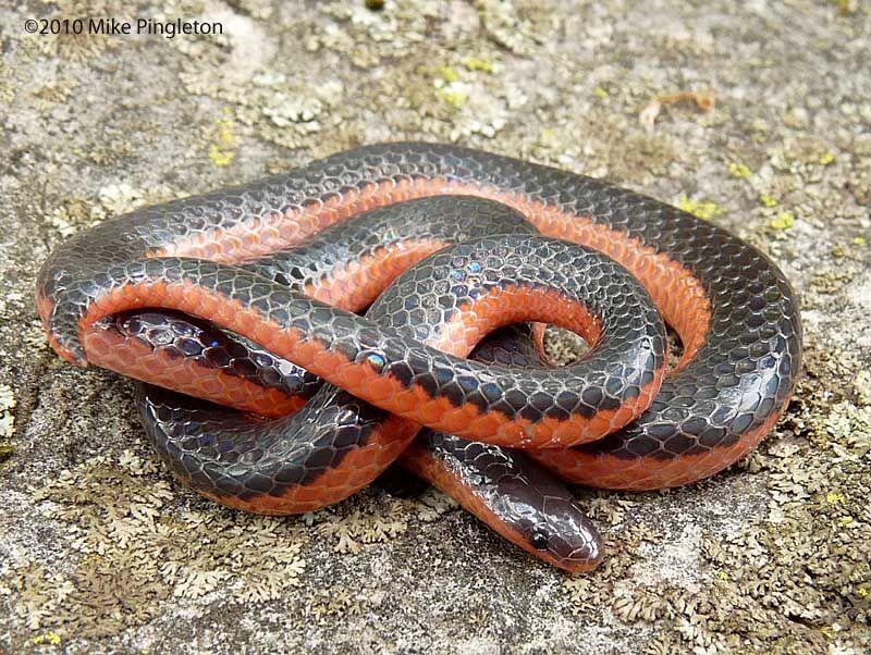 western worm snake Google Search Snake, Beautiful