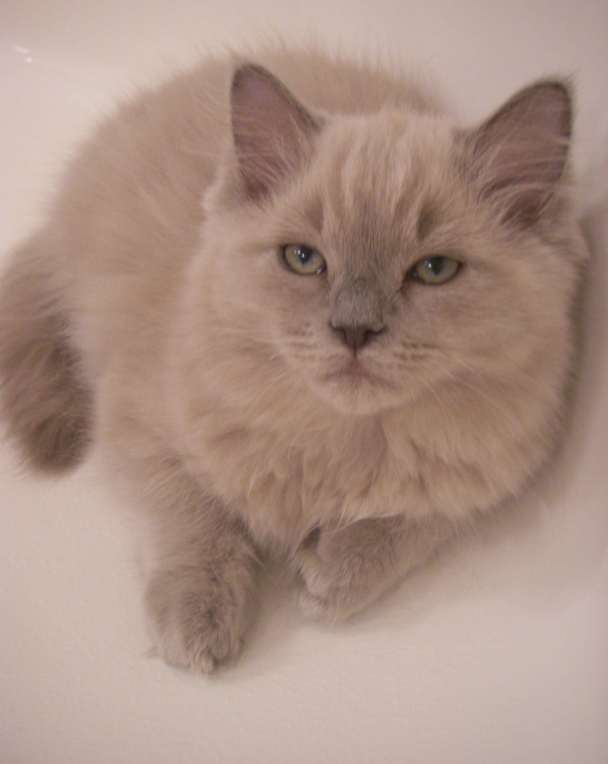 Bette blue mink ragdoll cat breeders cat breeder cute cats