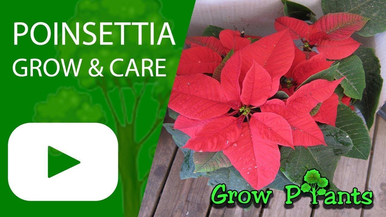 Poinsettia Grow Care Euphorbia Pulcherrima Also As Houseplant