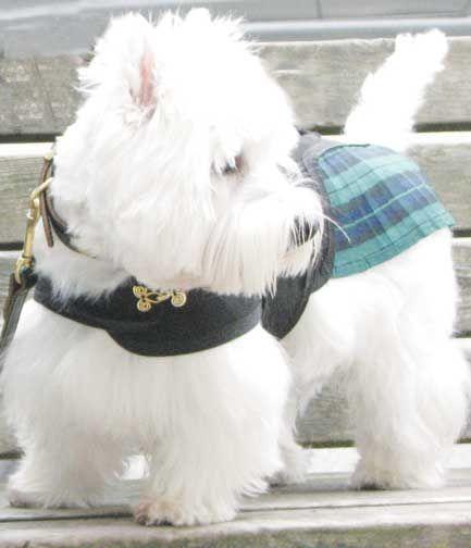 Buy Westie Puppies in South Dakota USA